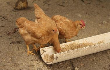 韩长赋:吃鸡是安全的,正研究家禽养殖业扶持措施