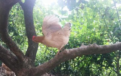 """【鸡博仕】一只鸡的小众生活—博仕""""自然散养""""土鸡"""